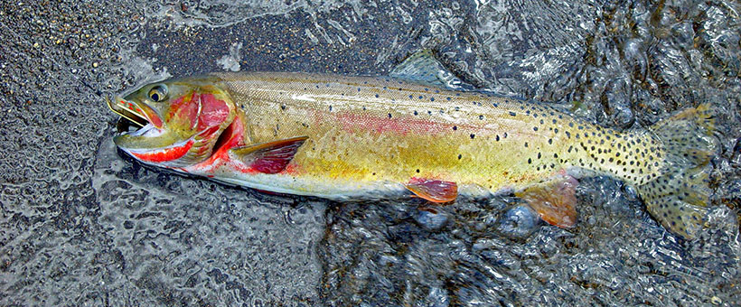 Wild Trout of Wyoming